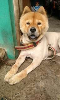 Chow-chow pure breed