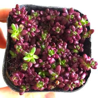 Purple rice succulent