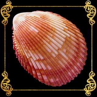 Seashell - Cockles Giant - Magnum Cockle - Trachycardium