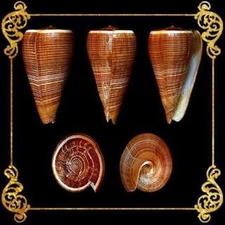 Seashell - Conus Figulinus - Fig Cone -  Conus Figulinus