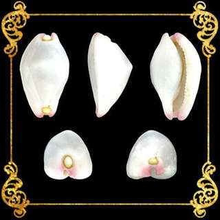 Seashell - Calpurnus - Umbilical Ovula - Calpurnus Verrucosus