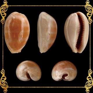 Seashell - Cyprea Carneola - Carnelian Cowrie - Lyncina Carneola Carneola