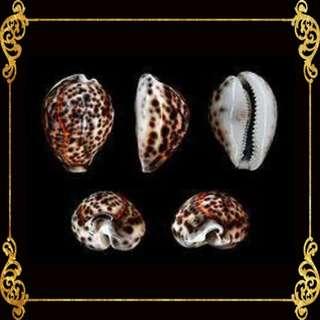 Seashell - Tiger Cowrie - Cyprea Caputserpentes - Cypraea Tigris