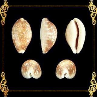 Seashell - Cyprea Vittelus - Lyncina Vitellus - Pacific Deer Cowrie
