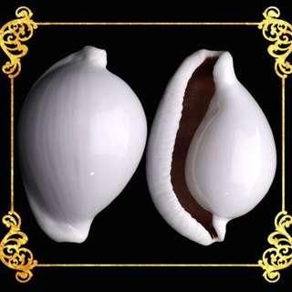 Seashell - Egg Shell - Common Egg Cowrie - Ovula Ovum