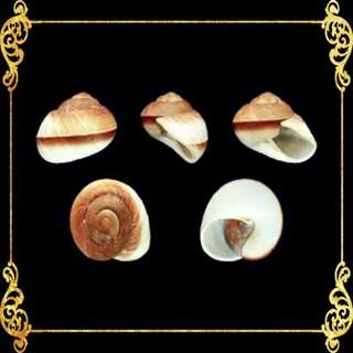 Seashell - Ensaymada - Muffin Snail - Ryssota Ovum