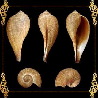 Seashell - Ficus Gracius - Graceful Fig Shell - Ficus Gracilis