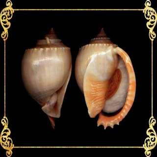 Seashell - Glucum Phallium -  Grey Bonnet - Phalium Glaucum