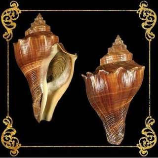 Seashell - Melongina Cavite - Spiral Melongina - Pugilina Cochidium or Volegalea Cochlidium
