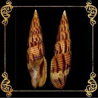 Seashell - Mitra Erematarium - Mitra Incompta - Tessellate Mitre