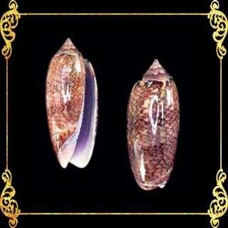 Seashell - Olive Annulata - Amethyst Olive - Oliva Annulata