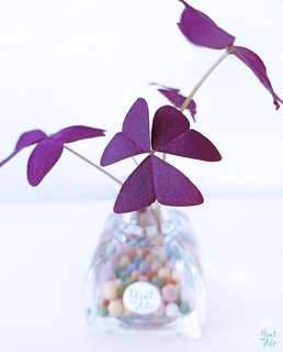 Water: Parfum with Purple Oxalis or Money Plant