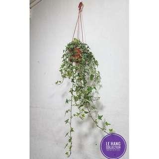 🍀English Ivy (Hedera Helix) 🍀