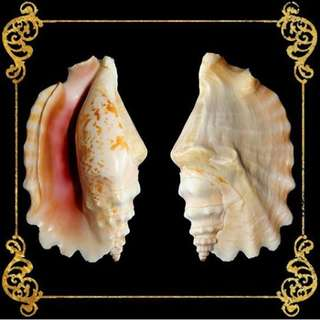 Seashell - Sinuatus - Laciniate Conch - Strombus Sinuatus