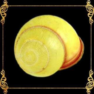 Seashell - Snail Yellow Round - Grove Snail - Cepaea Nemoralis
