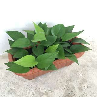 🌿 Potted Green Jade Pothos / Money Plant   Great Air Purifying Houseplant!! 🌿