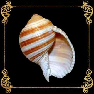 Seashell - Tonna Sulcosa - Banded Tun - Tonna Sulcosa