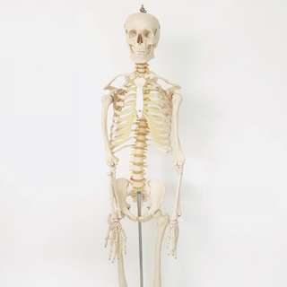 Full Size Human Skeleton Model Anatomy