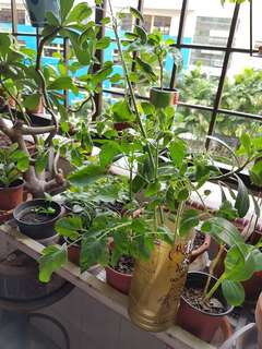 Tomatoes Plant cuttings