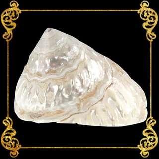 Seashell - Turbo Undasa Pearlized - Carved Star Shell - Lithopoma Caelatum