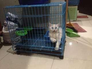 Kucing persia peaknose + kandang besar murah sehat lincah