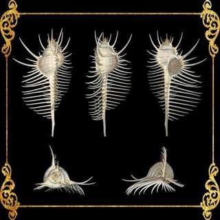 Seashell - Murex Pecten - Venus Comb Murex - Murex Pecten