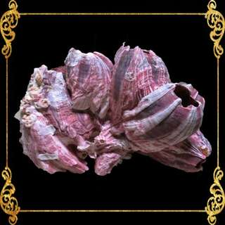 Seashell - Barnacle - Cirripedia - Thyrostraca, Cirrhopoda