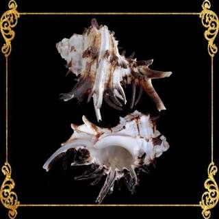 Seashell - Vasum Tubiferum - Vase Shells - Vasum Tubiferum
