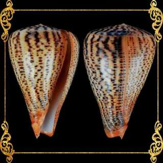 Seashell - Conus Suratensis- Surat Cone - Conus Suratensis