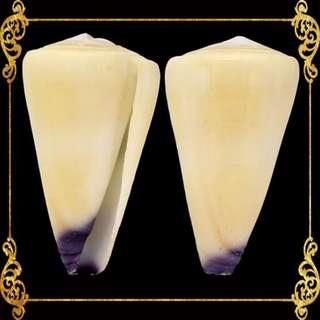 Seashell - Conus Virgo - Conus Virgo - Conus Virgiconus