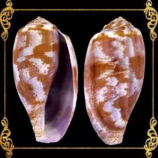 Seashell - Conus Tulipa - Tulip Cone - Cucullus Purpureus
