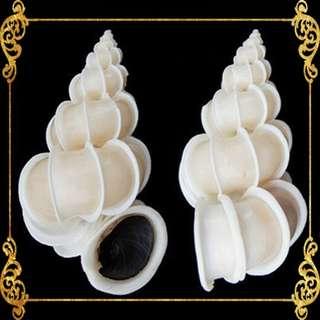 Seashell - Scalare - Precious Wentletrap - Epitonium Scalare