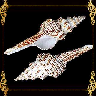 Seashell - Tulip Shell - Indian Tulip Shells - Fusinus Nicobaricus