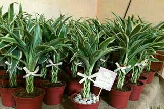 Lucky Fortune plants