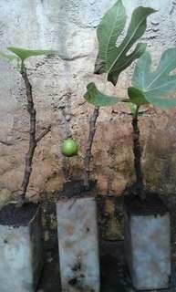 Bibit pohon tin green jordan