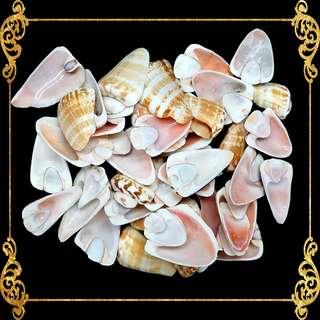 Seashell - Red Lips Side Cut - Strawberry Conch - Conomurex Luhuanus