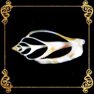 Seashell - Sicad Pink - Little Bear Conch - Strombus Urceus