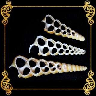 Seashell - Tortilla - Cut - Screw Turritella - Turrtella Benebra