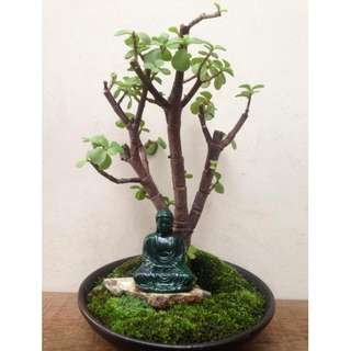 Zen  Bonsai  -  Nirvana  Series  1026