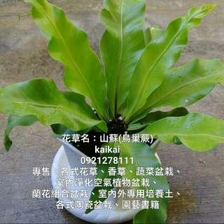 室內植物盆栽/天然空氣淨化器/山蘇(鳥巢蕨)盆栽