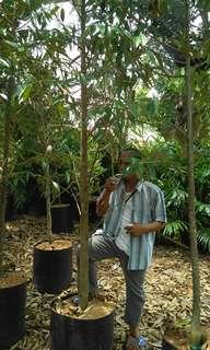 Bibit durian montong 3 meter cod bandar lampung