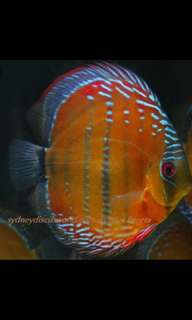 I'm looking to buy wild discus ( high-baller so stay away ) thanks budget constraint .
