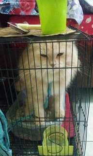 kucing persia betina 8bulan