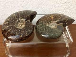 Madagascar Ammonite - 1/2 price sale