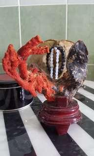 Red coral tumbuh atas kupang (rare) lelong