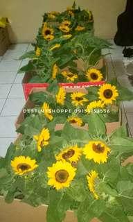 SUNFLOWER PLANT FOR SALE