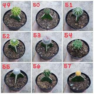 Kaktus cantik