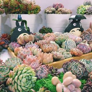 😍VISIT US! RARE Korean Succulents among Gorgeous Plants and Marimo Ball Aquariums @ ARTBOX2018, BOOTH 291, Beside MBS (25th - 27th May. 3pm - 11pm)