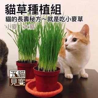 🚚 大組🍀有機麥草種植組 貓草 天然化毛 小麥 小麥草 大麥草 培養土 化毛膏 牧草 兔 天竺鼠