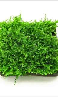 Carpet Christmas moss